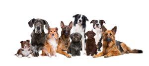 Cuidado en perros braquicéfalos